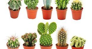 Kaktus Bestseller