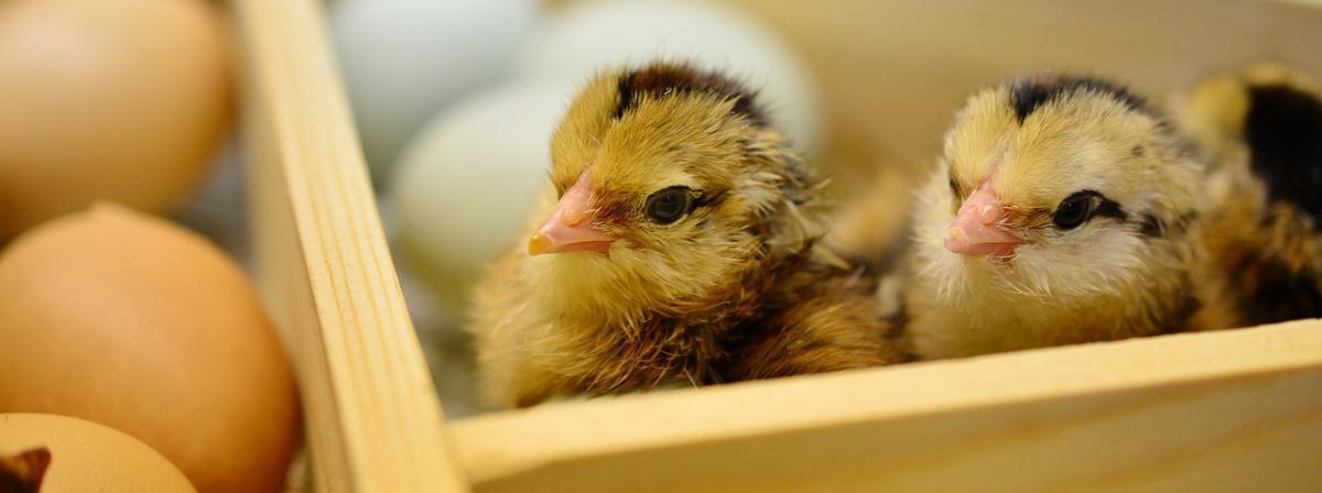 Geflügel Inkubator Vergleich