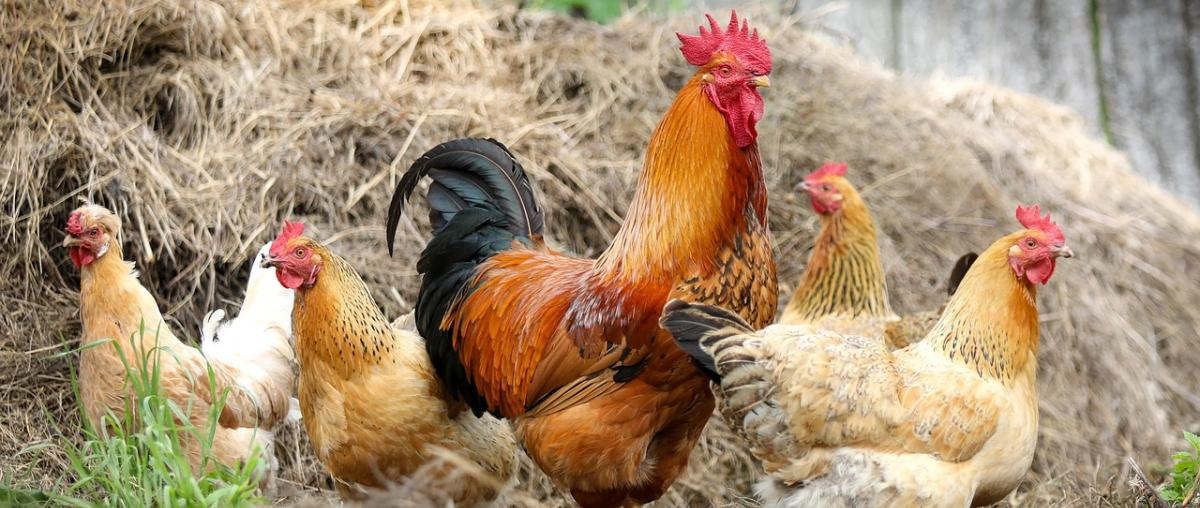 Hühnerfutter Ratgeber