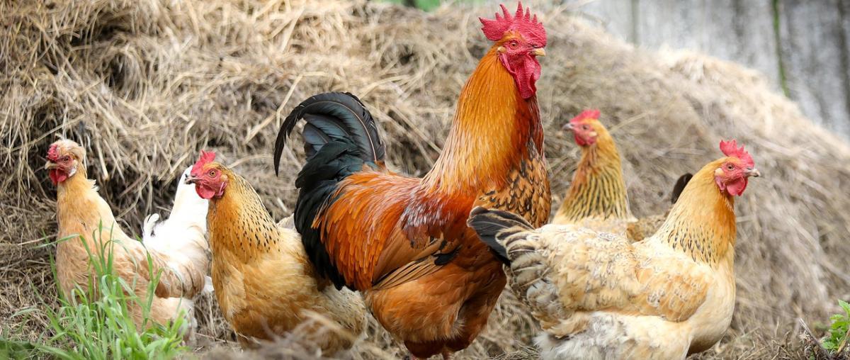 Hühnerstall Ratgeber