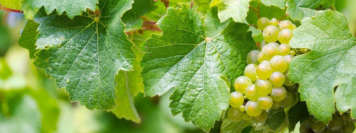 Riesling Wein Ratgeber