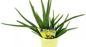 Aloe Vera Pflanze Bestseller