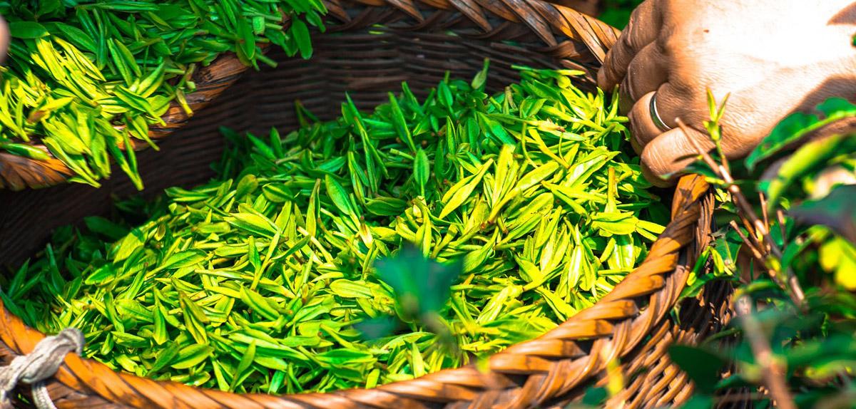 Grüner Tee Blätter. Grüner Tee Kapseln im Vergleich.