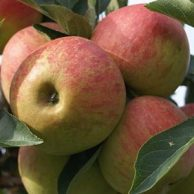 Apfelbaum Bestseller
