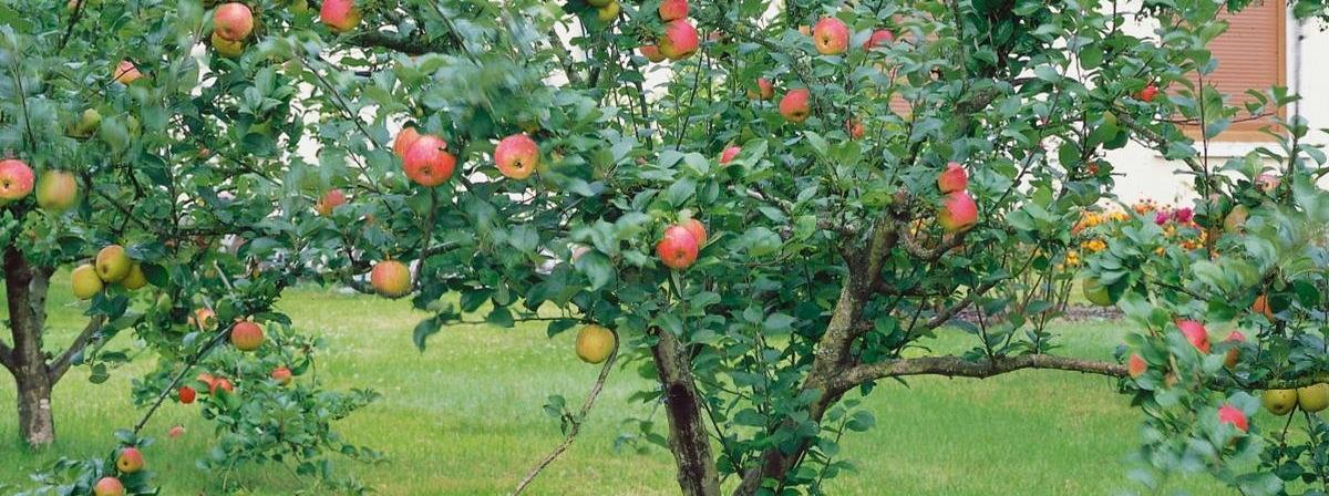 Apfelbaum Vergleich